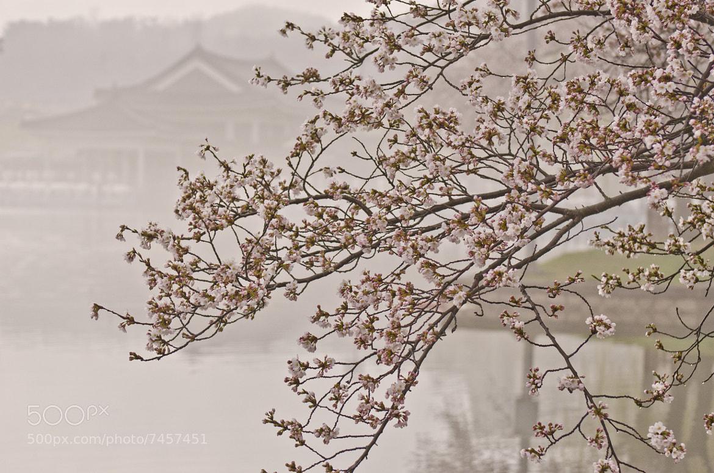 Photograph Cherry blossom morning by waynekorea on 500px