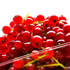 Постер, плакат: red currants berries
