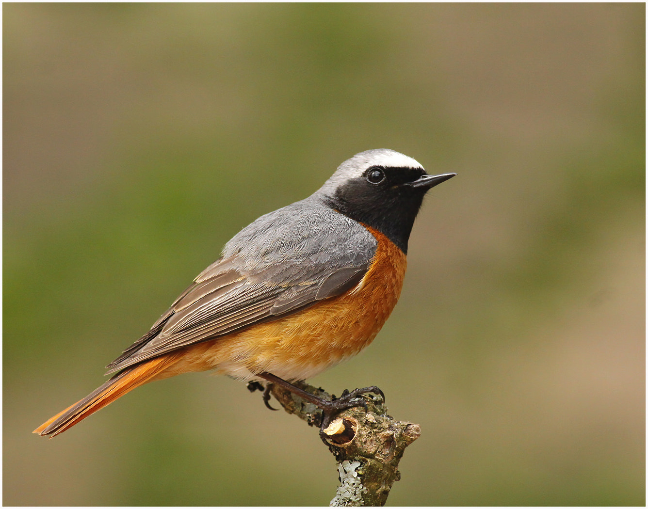 Photograph Redstart II by Alan Coles on 500px