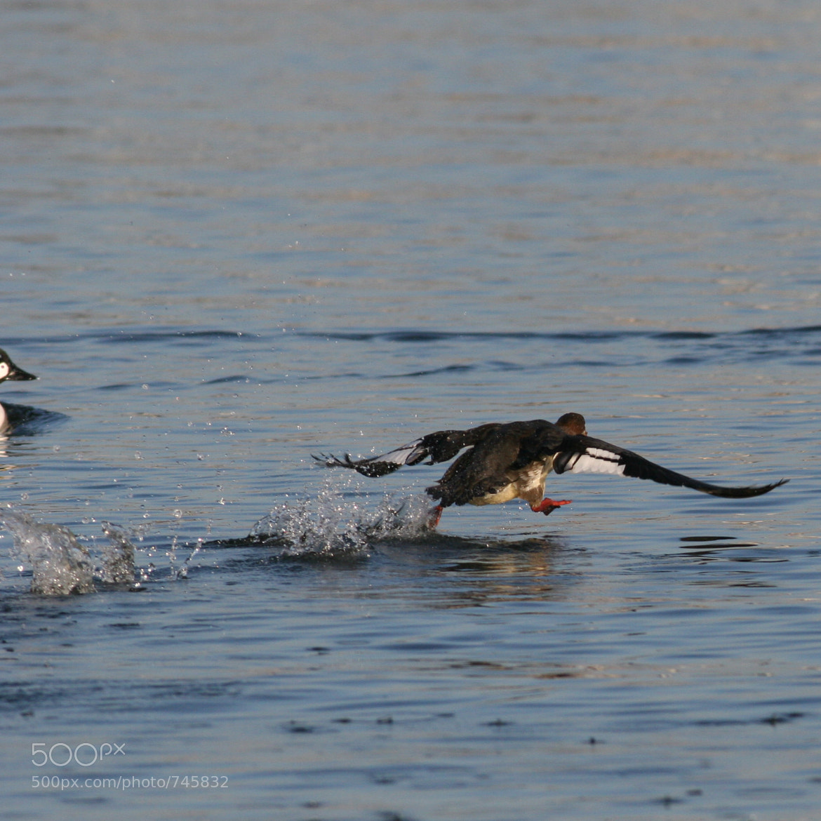 Photograph Duck taking off by Robert Snedegar on 500px