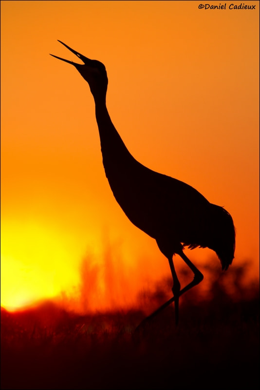 Photograph Sandhill Crane Signalling End Of Day by Daniel Cadieux on 500px
