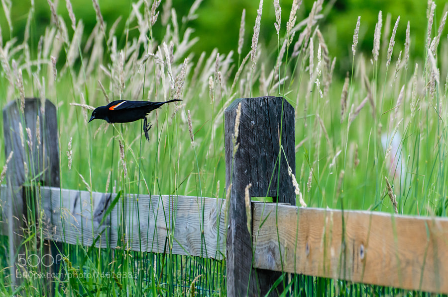 Funny to watch the birds step off the fence, fall a bit, open their wings and off they go.
