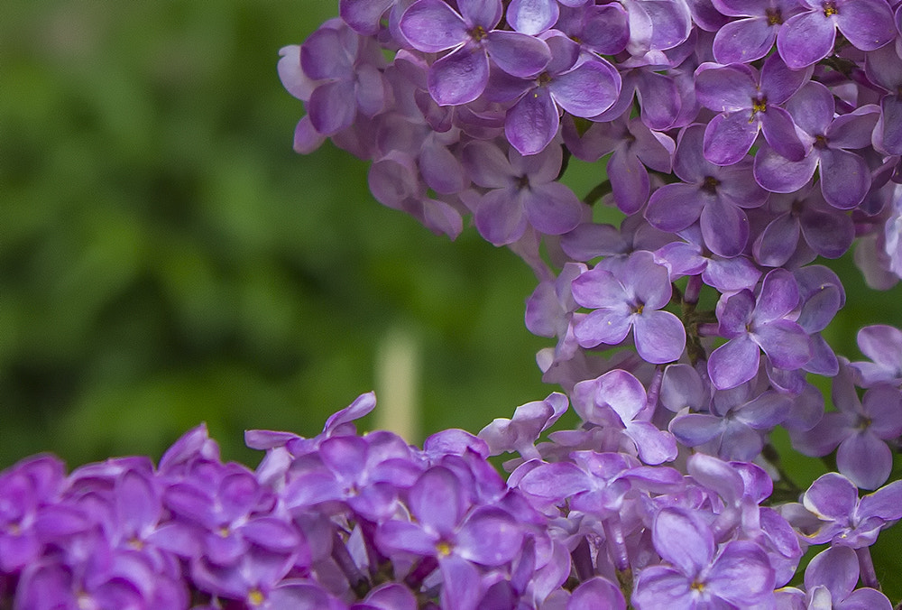 Photograph lilac bush by Maxim Ritus on 500px