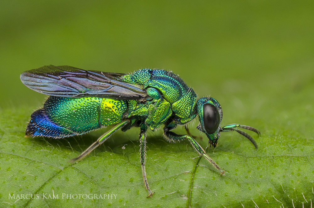 Photograph Green Hornet by Marcus Kam on 500px