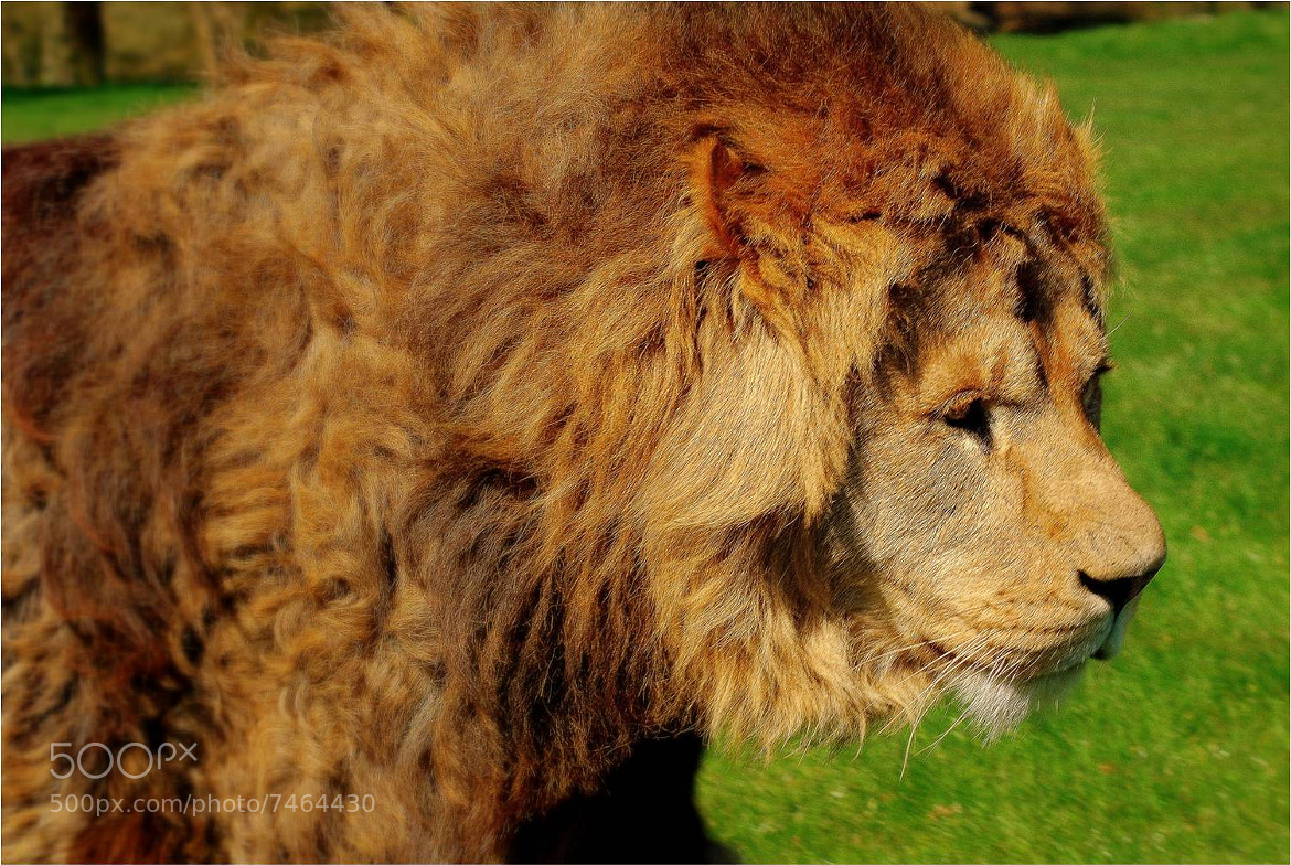 Photograph Lion by Max Rigden on 500px
