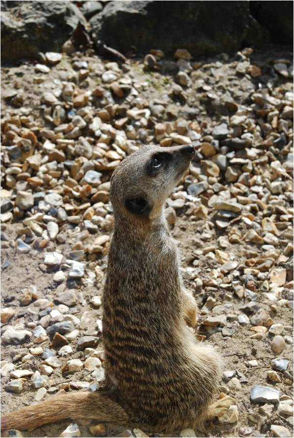 Photograph Meerkat by Max Rigden on 500px