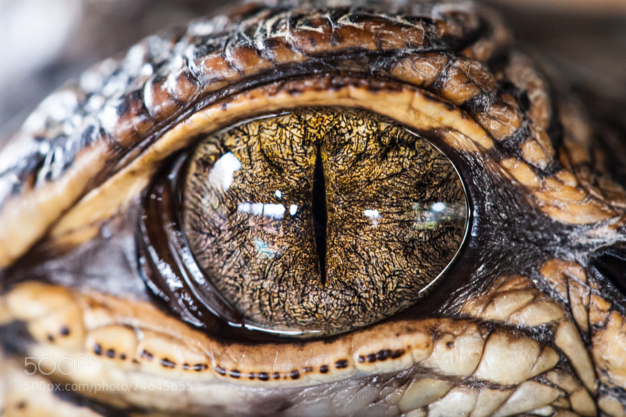 Photograph Gator Eye by Christopher Radlinger on 500px