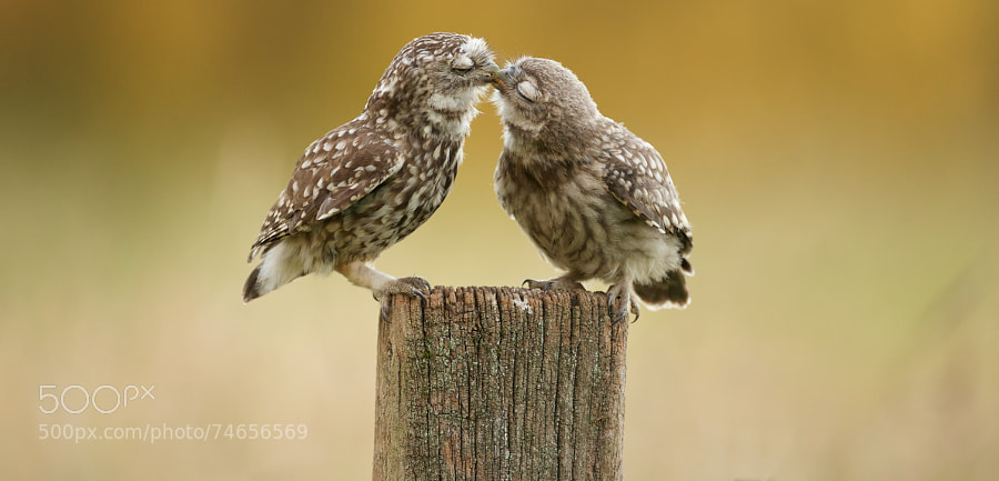 Photograph little kiss by Mark Bridger on 500px