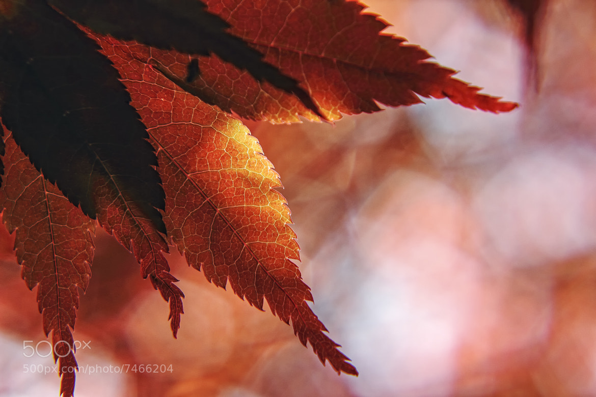 Photograph Japanese Maple Leaves by Aaron Campbell on 500px
