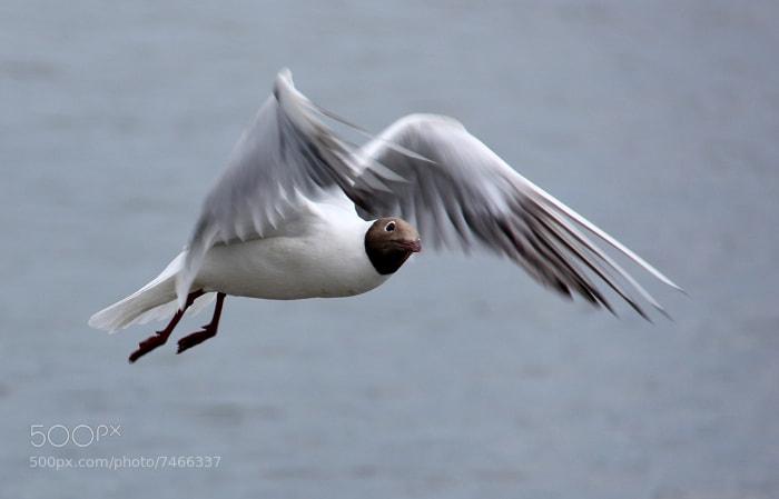 Photograph Gull by Maja Pulczynska-Perrichon on 500px