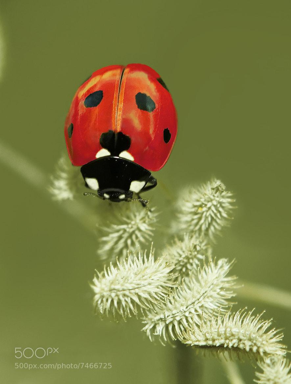Photograph ladybird by josep Quiñonero on 500px