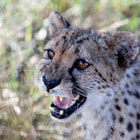 ������, ������: portrait of a cheetah