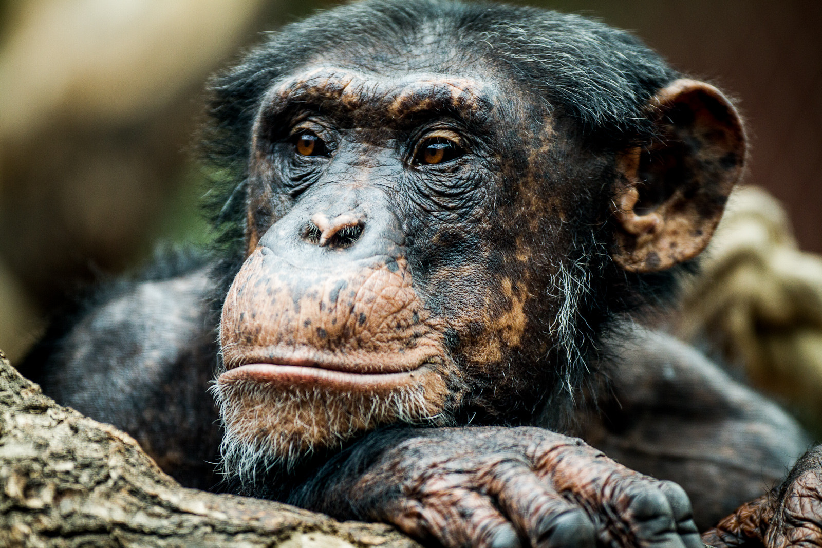 Photograph Chimpanzee by Marco Schmidt on 500px