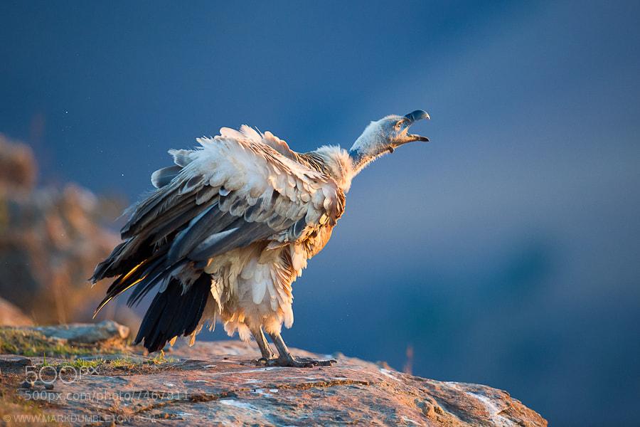 Cape Vulture at Dusk by Mark Dumbleton (markdumbleton) on 500px.com