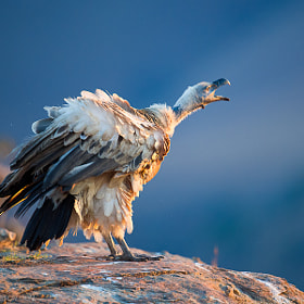 Cape Vulture at Dusk