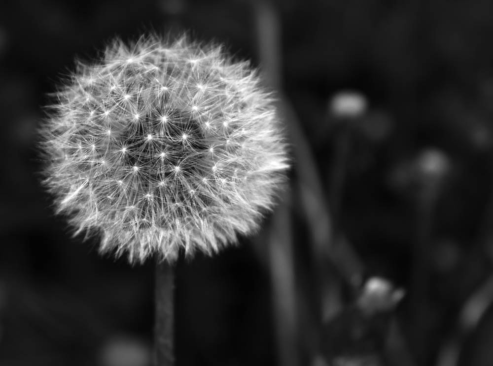 Photograph blowball by Marion Fanieng on 500px