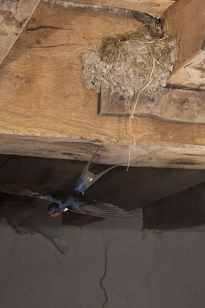 Photograph Barn swallow by Dale Sutton on 500px