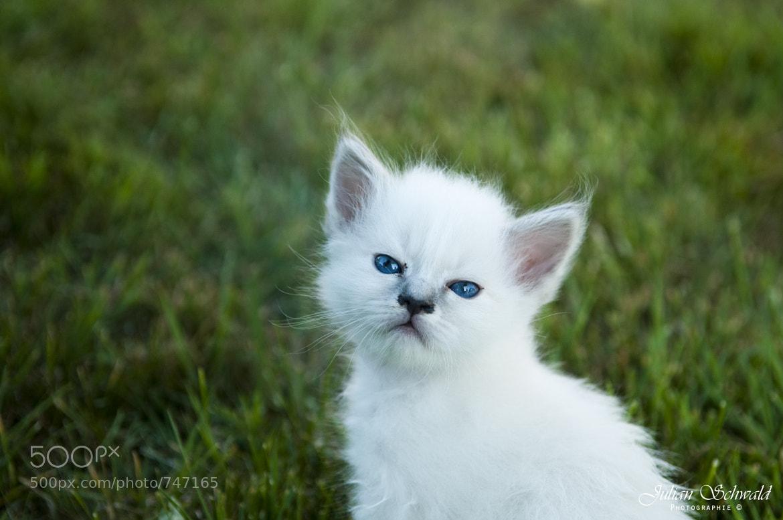 Photograph Little Cat by Julian Schwald on 500px