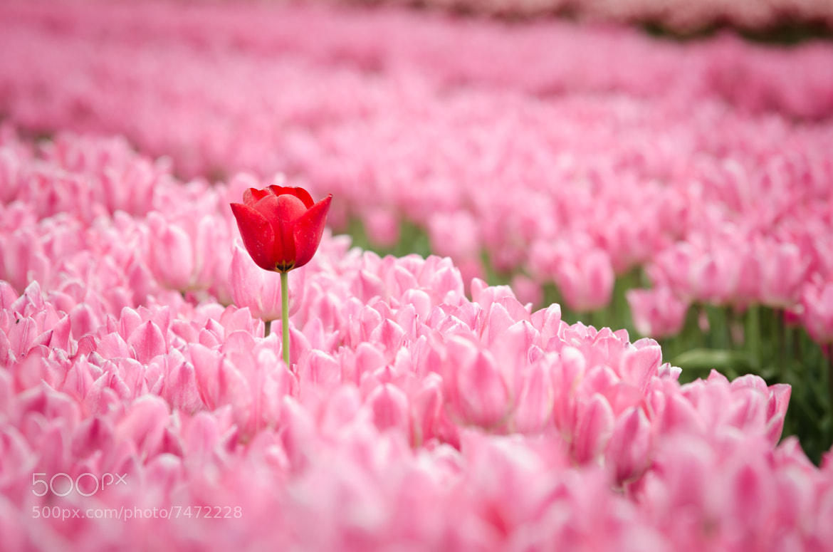 Photograph Tuliproute Noord-Oostpolder by Marco Ruissen on 500px