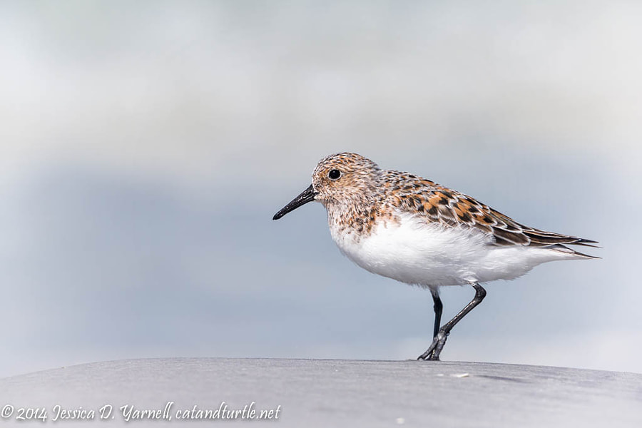 Sanderling by Jess Yarnell