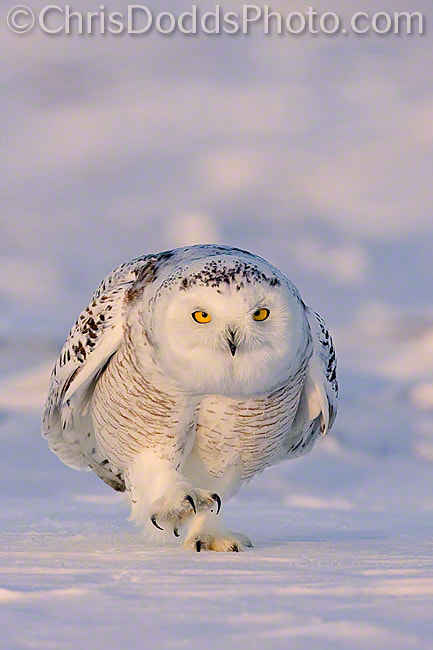 Photograph Snowy Owl WALK THIS WAY by Christopher Dodds on 500px