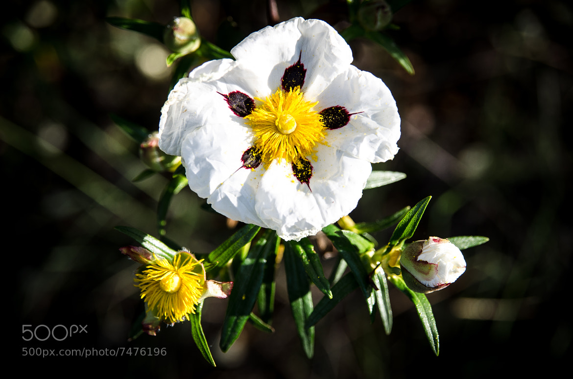 Photograph Rock Roses by Luis Borges on 500px