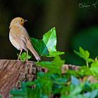 Robin on tree stump