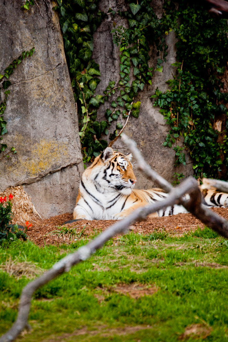 Photograph Resting Tiger 01 by Jaime Wojick on 500px