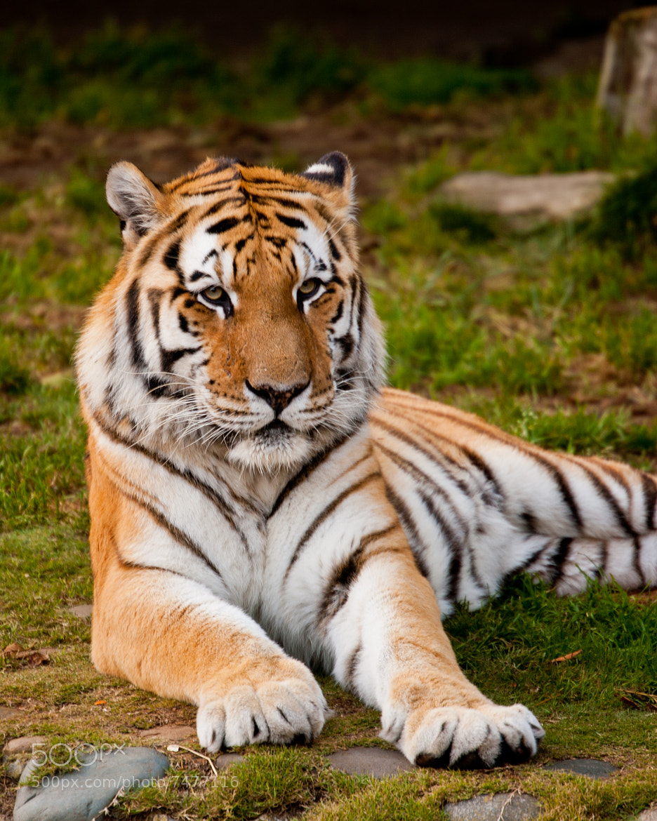 Photograph Resting Tiger 04 by Jaime Wojick on 500px