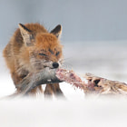 A Red fox (Vulpes vulpes) was cunning enough to grab hold of a fish put out originally for White-tailed eagles in front of our hide. It was hard work for the furry one but after some hard work he managed to leave with a great portion of the fish. Bon apetit!  Hortobágy National Park Hungary, 2009.