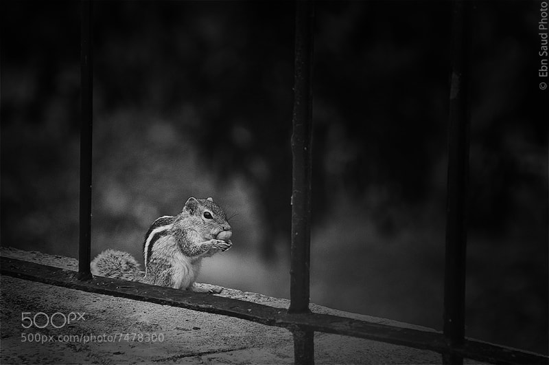 Photograph Squirrel by Fahad Ebn Saud on 500px