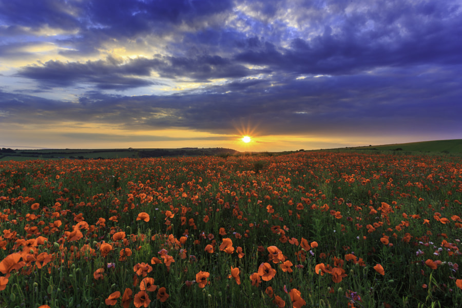 poppy fields by Andrew Thomas on 500px.com