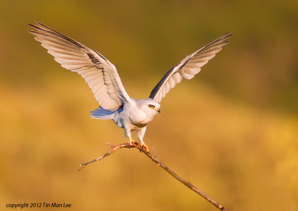Photograph White-Tailed Kite at Sunset by Tin Man on 500px