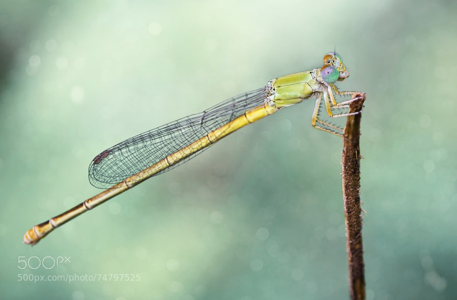 Photograph Damsel fly by Sreekumar Mahadevan Pillai on 500px