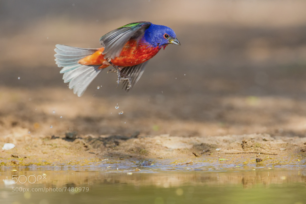 Photograph Painted Bunting Leaping by Kurt Bowman on 500px
