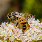 ������, ������: Honeybee on Wildflower by Byron Croft Photography