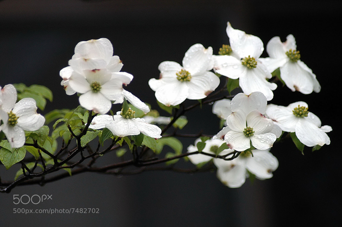 Photograph ☆ Dogwood bloom by KEN OHSAWA on 500px