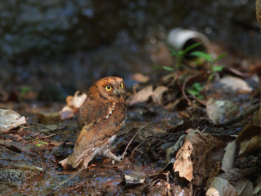 Eurasian Scops Owl 2 by hyongchol kim (howyhally) on 500px.com