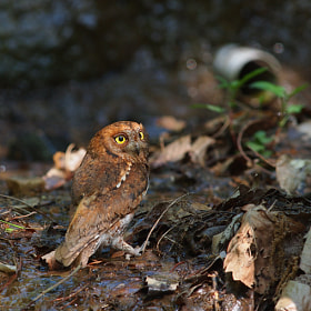 Eurasian Scops Owl 2 by hyongchol kim (howyhally)) on 500px.com