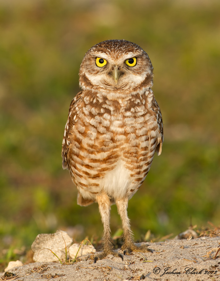 Photograph Burrowing Owl by Joshua Clark on 500px