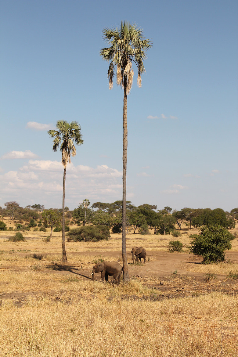 Photograph Elephants and Palmtrees by Luis Sellmeyer on 500px
