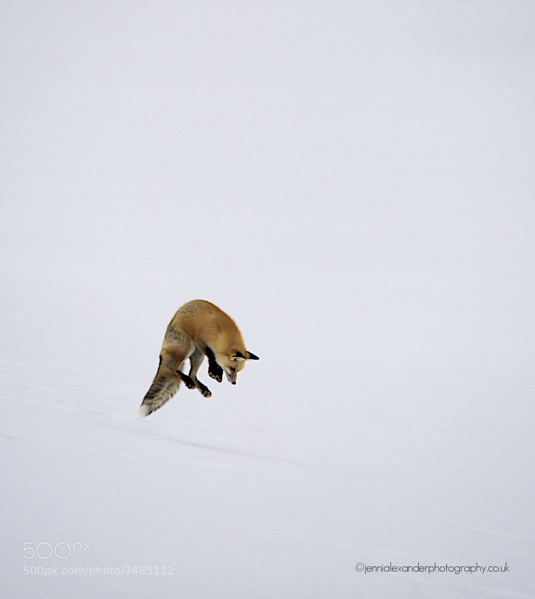 Photograph Red Fox Mousing by Jenni Alexander on 500px