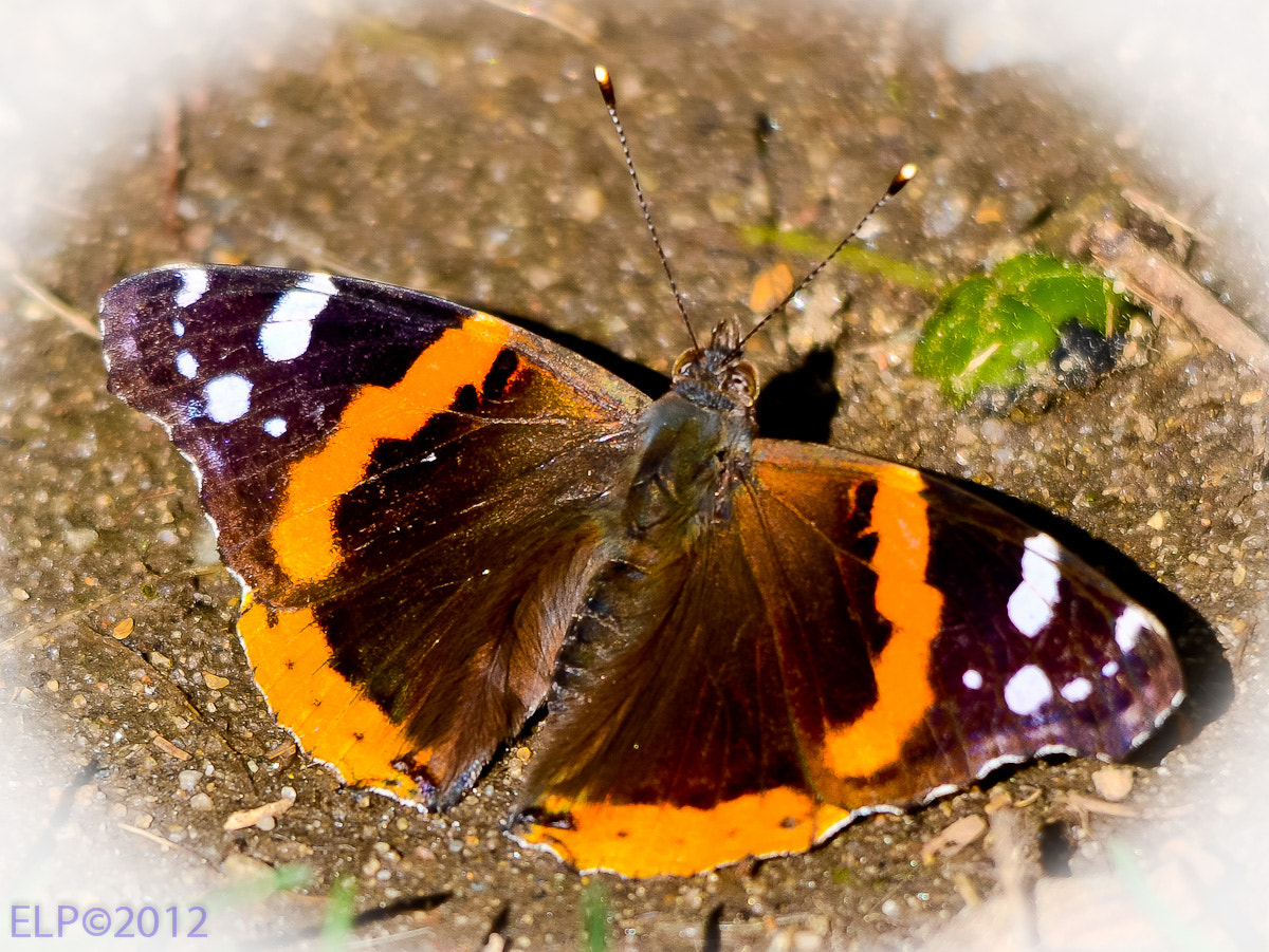 Photograph Butterfly number 2  by Ed  Logan on 500px