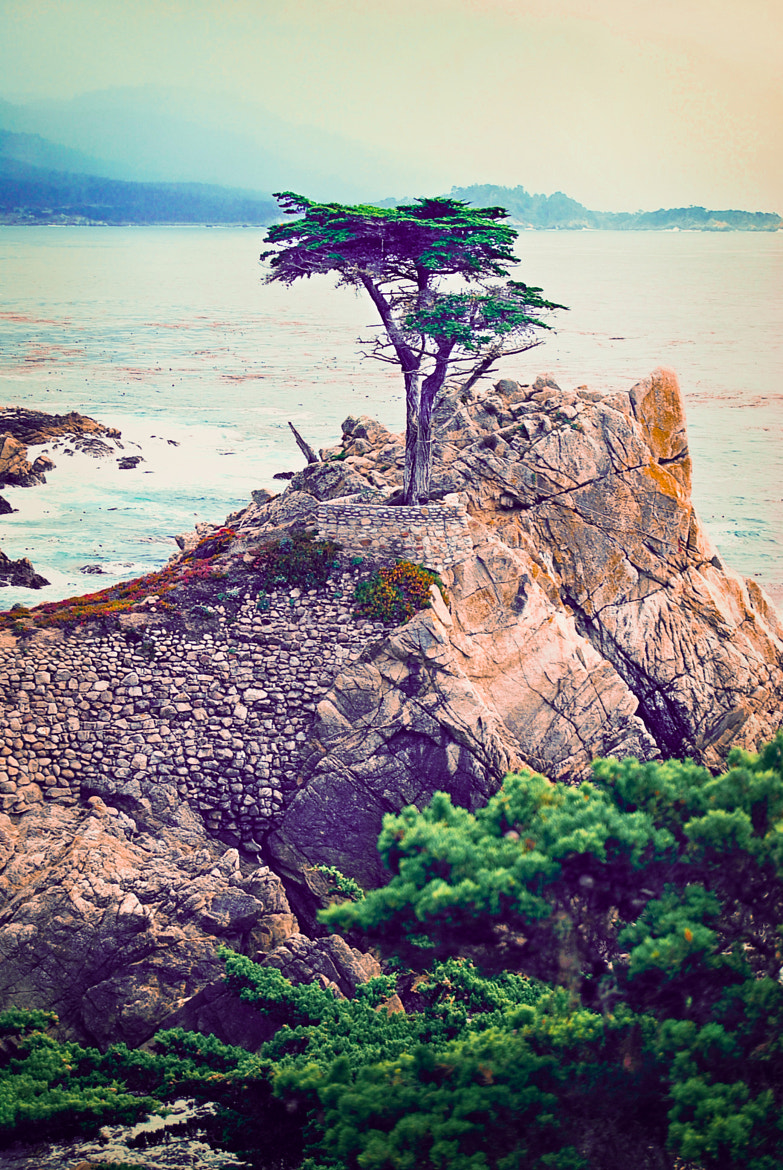 Photograph The Lone Cypress by Christine M on 500px