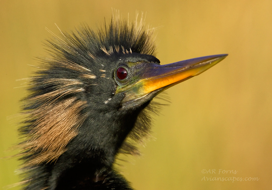 Photograph Male Anhinga by Alfred Forns on 500px