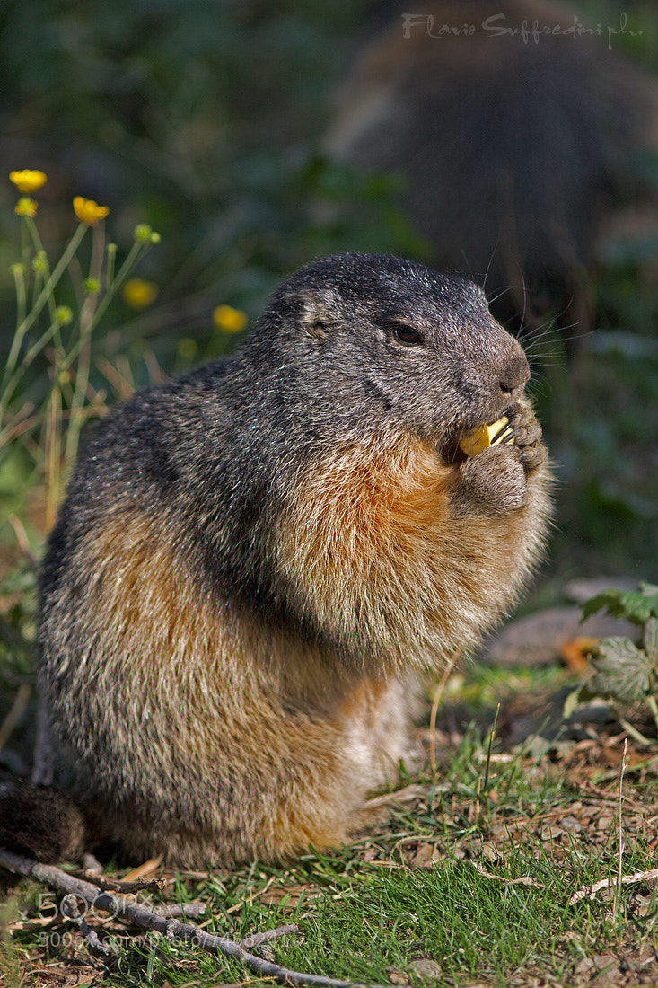 Photograph Marmot (Marmota marmota) by Flavio Suffredini on 500px