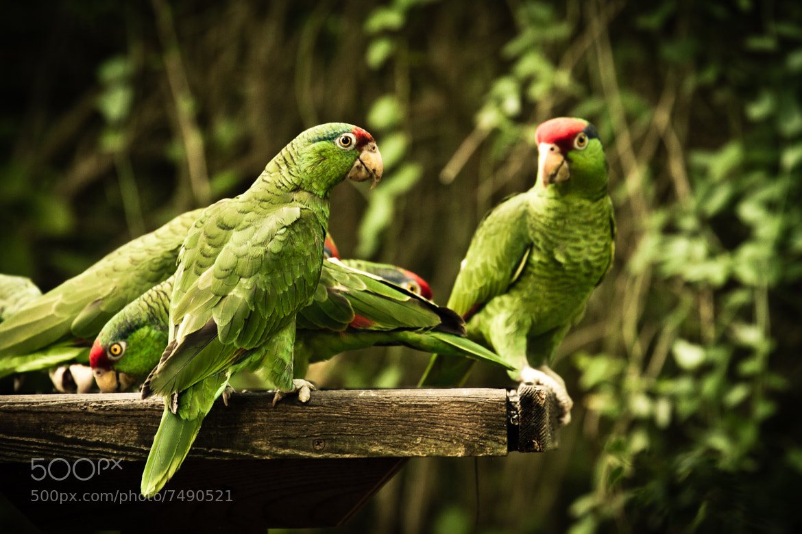 Photograph Red-crowned Parrots by Kenny Salazar on 500px