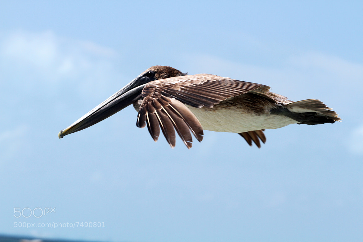 Photograph Pelican II by Itamar Campos on 500px