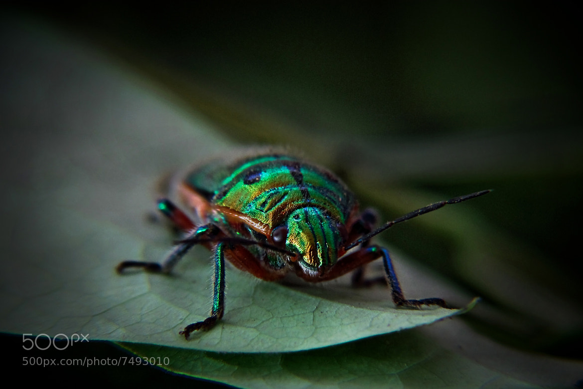 Photograph Jewel Bug by Nauzer Kasad on 500px