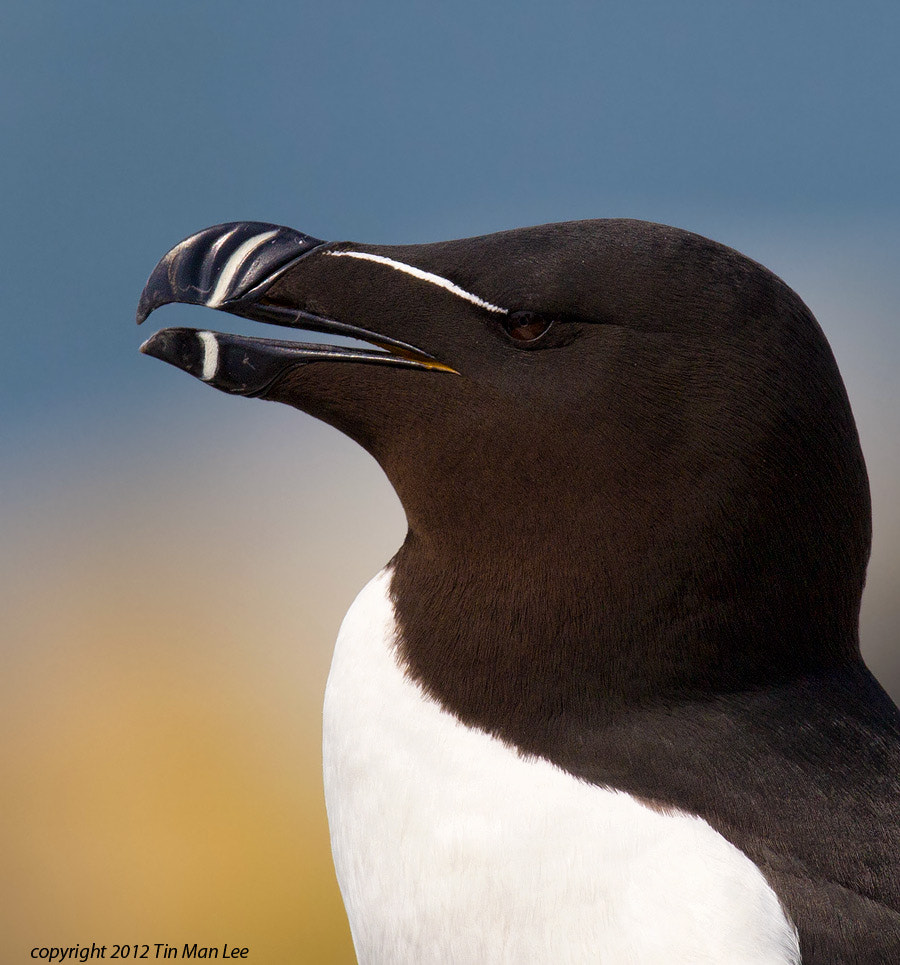 Photograph Razorbill Portrait by Tin Man on 500px